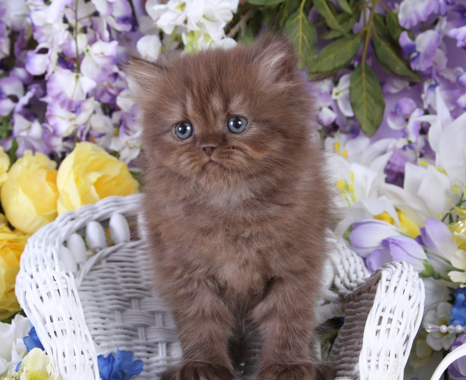 Chocolate Persian Kittens Persian Kittens Persian Kittens For Sale Persian Cats For Sale