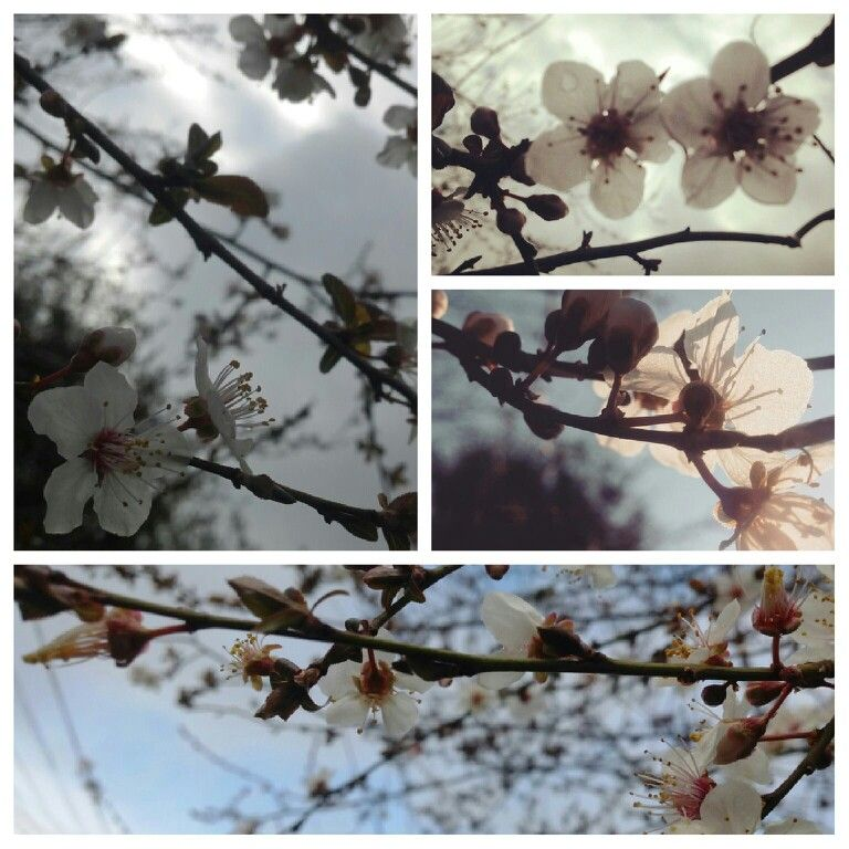 #flores #primavera #ciruelo