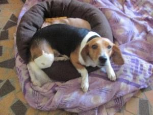 Dora Is An Adoptable Beagle Dog In Kenner Louisiana She S