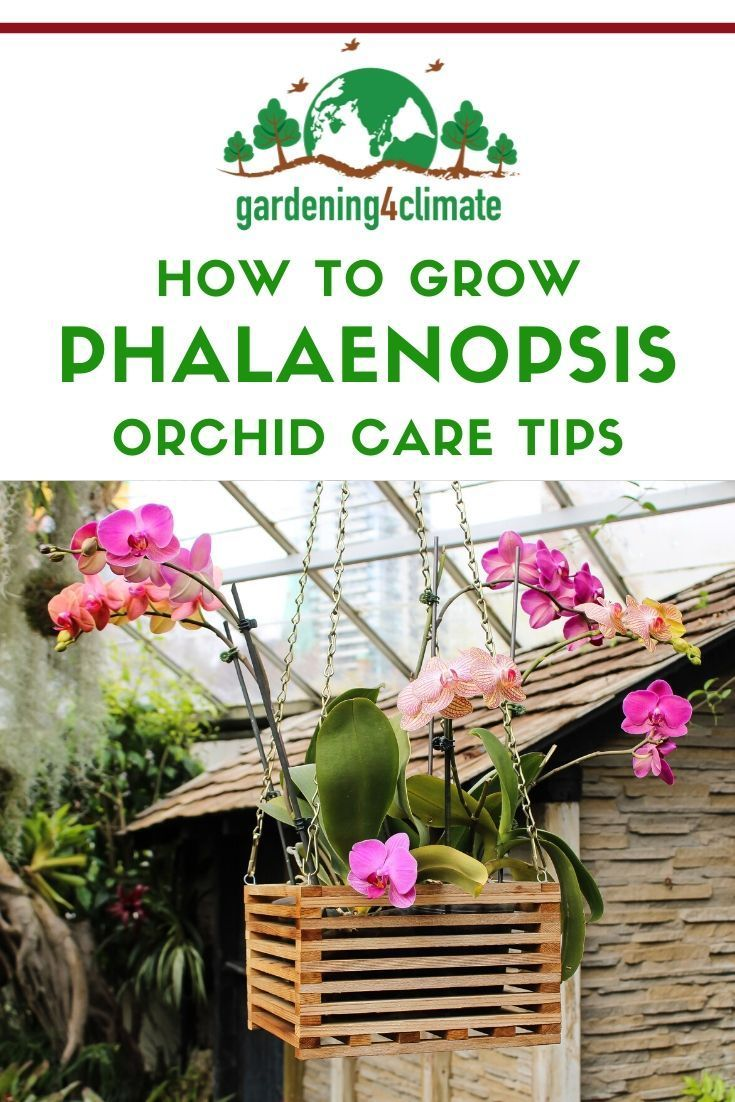 Phalaenopsis Orchid Care Instructions is part of Phalaenopsis orchid care, Orchid care, Phalaenopsis orchid, Phalaenopsis, Orchids, House plant care - Phalaenopsis Orchid Care is easy  Instructions for moth orchid care including watering, feeding and pruning Phalaenopsis