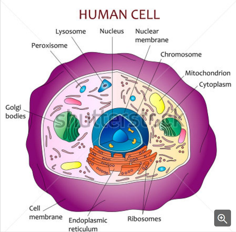 What Is Going On Inside That Cell? Human cell diagram