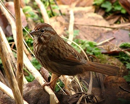 Song Sparrow Adult Pacific Northwest form