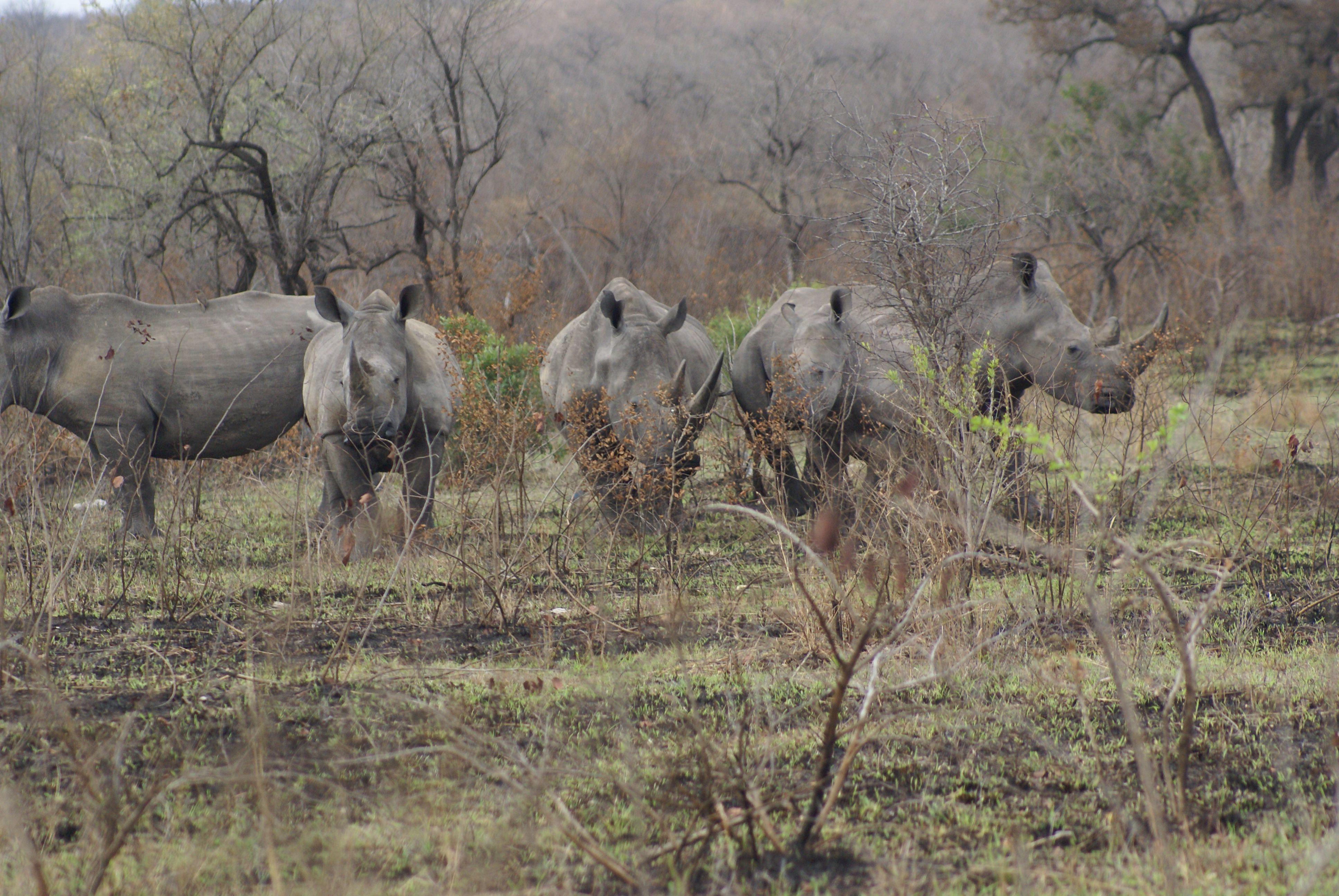 White Rhino - KNP