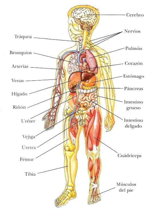 cuerpo humano para niños   escuela   Pinterest