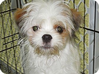 Image Result For Crested Chin Havanese Beagle Dogs