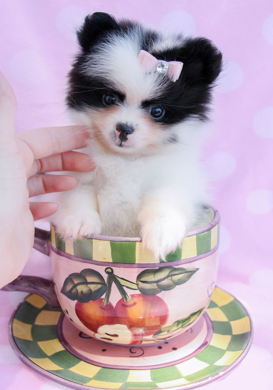 pomeranian116.jpg 1,049×1,500 pixels Pomeranian puppy