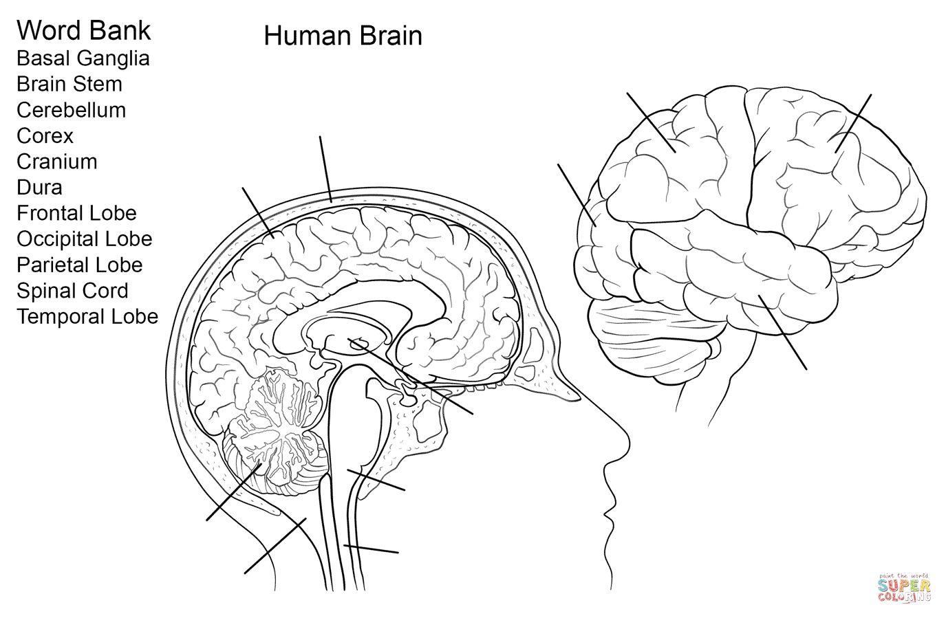 Brain Anatomy Worksheet Human Brain Worksheet Coloring Page Free