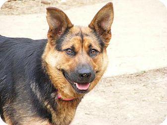 Cincinnati Oh German Shepherd Dog Mix Meet Sable A Dog For Adoption Http Www Adoptapet Com Pet 13509972 Cincinn Shepherd Dog Mix Dog Mixes Shepherd Dog