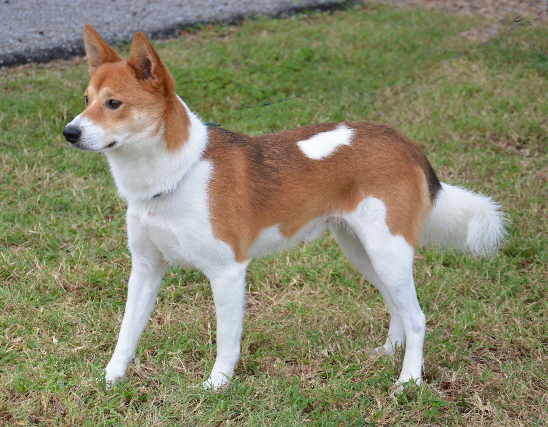 Basenji Shiba Inu Mix Beautiful Dogs Animals And Pets Shiba Inu