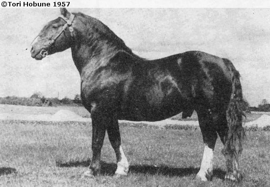 Tori horse stallion Hirgo (born 1939). Comparing to the modern Tori shows how the breed's type has changed.