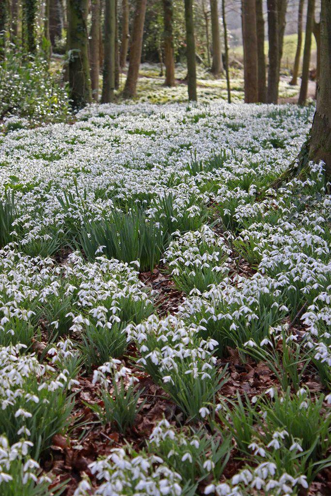 Carpet Of Snowdrops Rococo Gardens Beautiful Gardens Garden