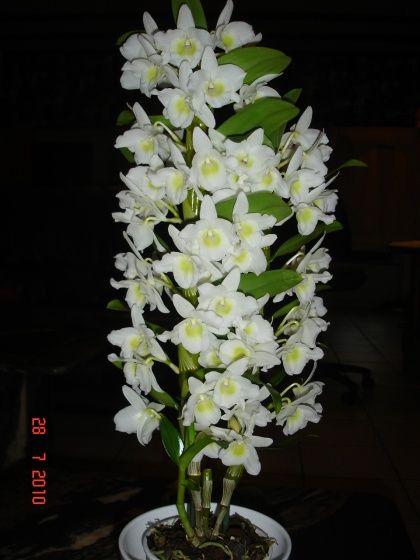 orchidee japonaise