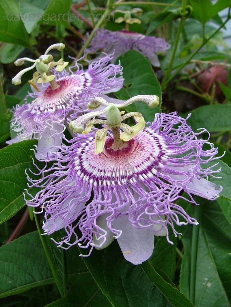 These Come Back For Us Yearly Supposed To Be Only Zone 6 Hardy So Perhaps They Are Reseeding But W Unusual Flowers Purple Passion Flower Beautiful Flowers