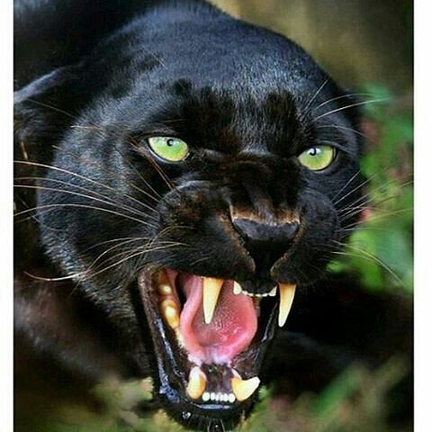 """Photo of WILDLIFE / nature / amazing / animal en Instagram: """"Black panther Photography By © Unknown #wildlifeonearth"""""""