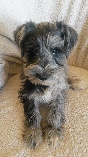 Miniature Schnauzers Page 2 For Sale Ads Free Classifieds Miniature Schnauzer Puppies Schnauzer Grooming Schnauzer Puppy