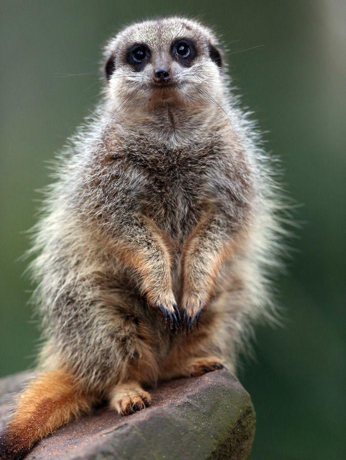 調査に協力的なミーアキャットwwwwwww ハムスター速報 Bristol Zoo Animal Tracks Meerkat