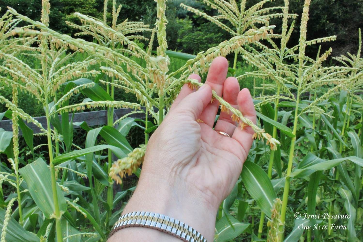 Nice 6 Tips For Growing Corn In Small Spaces. Hand Pollinating Is Easy, And Helps