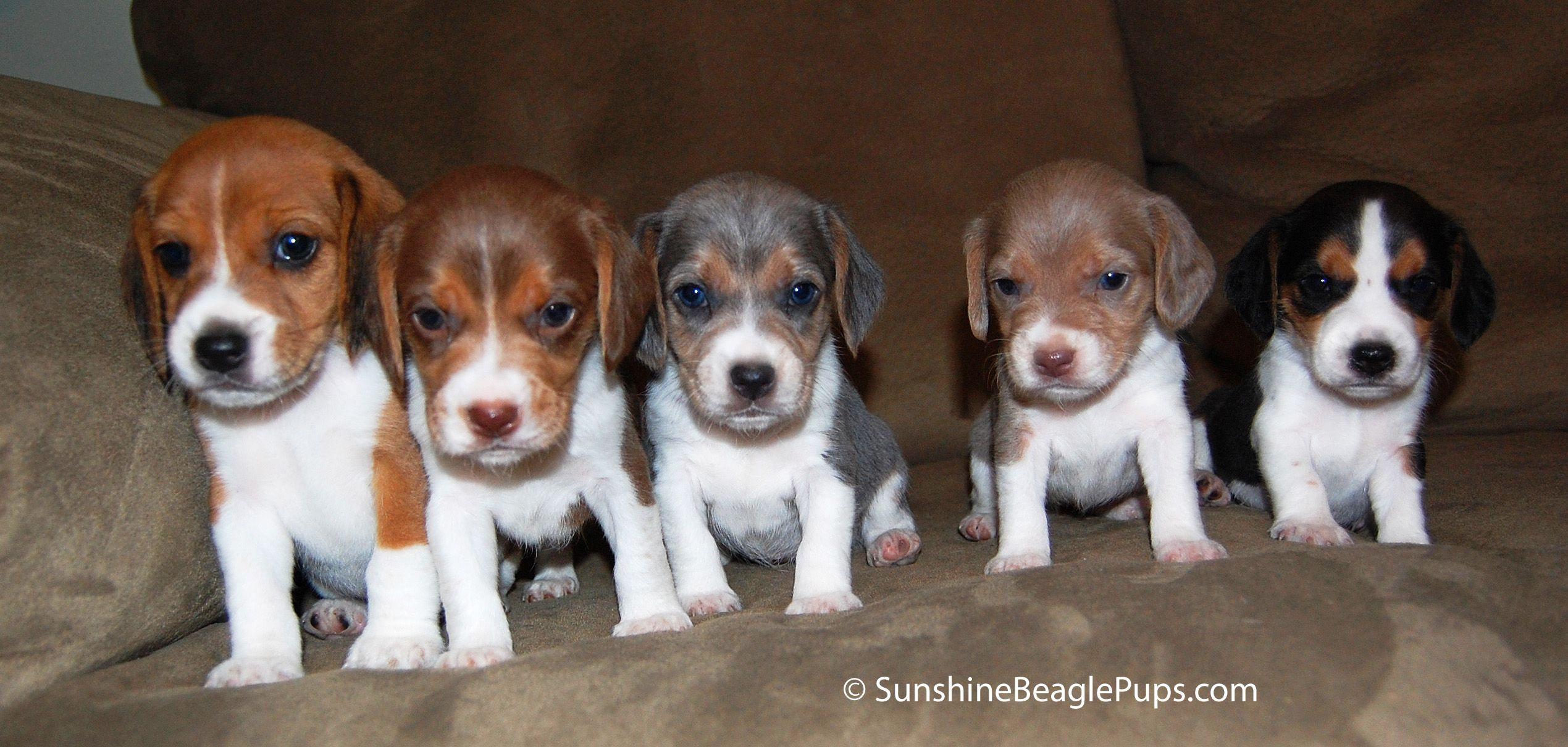 Beagle Puppy Beagle Dog Breed Beagle Dog