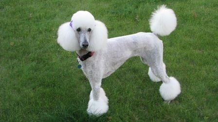 A Palm Springs Miami Bikini Clown Clip It Is Poodle Forum Poodle Dog Poodle Pretty Poodles