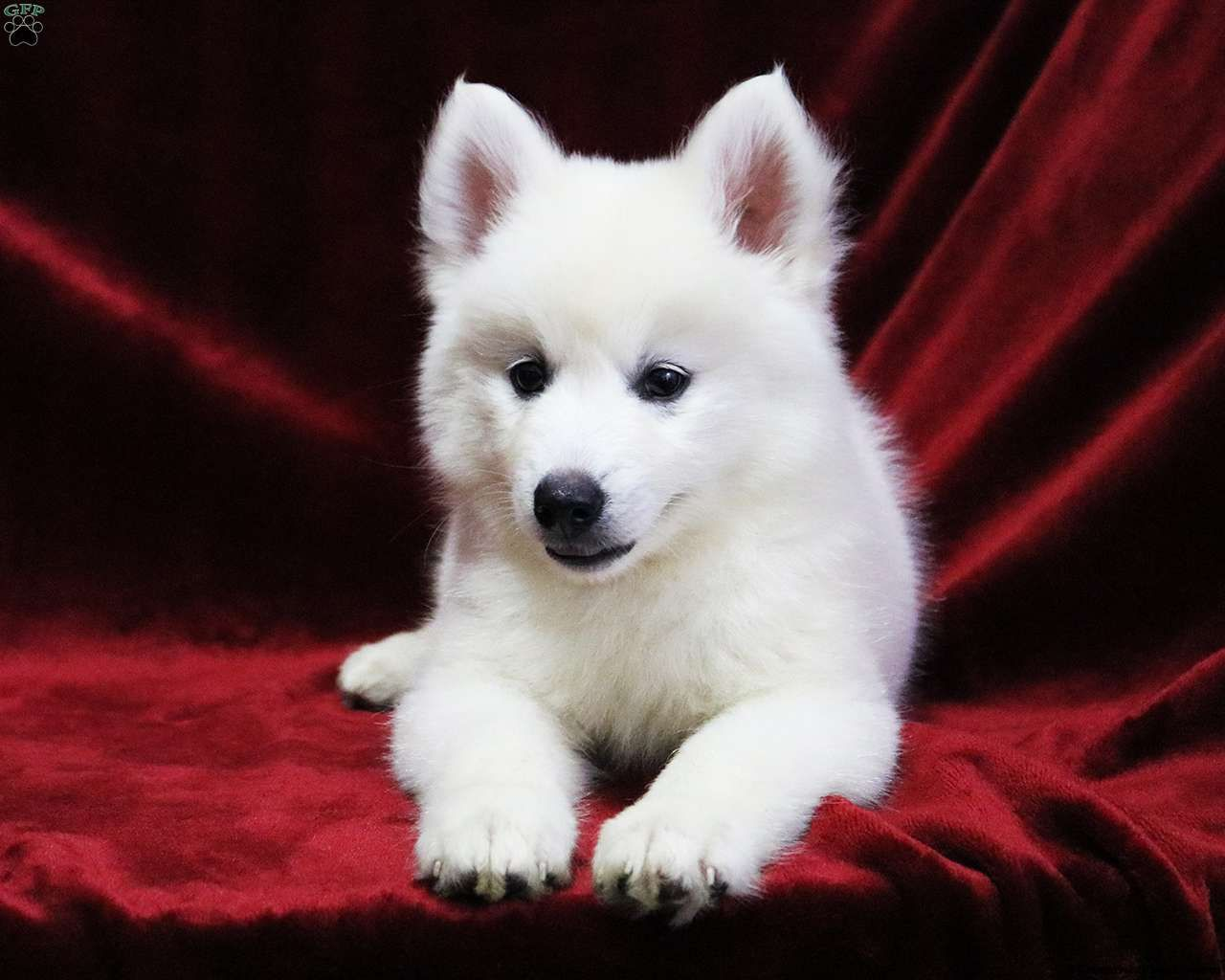 White german shepherd puppies for sale in california