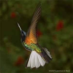 Hummingbirds Photography By Lawrence Beck