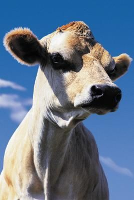 Getting Cows To Accept Calves Dairy Cow Breeds Jersey Cow