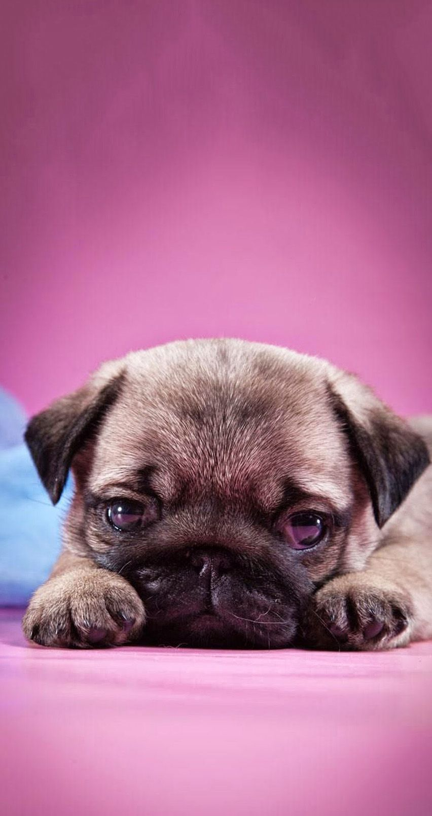 TAP AND GET THE FREE APP! Animals Girlish Dog Puppy Pug