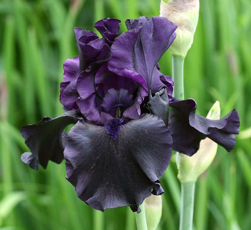 Iris Hello Darkness Dark Purple Flowers Bearded Iris Purple Flowers