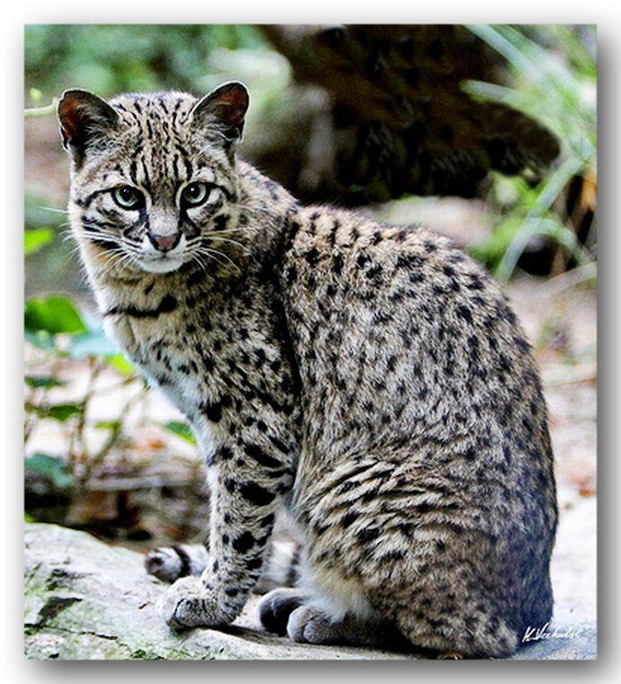 GEOFFROY'S CAT [Leopardus geoffroyi] Geoffroy's cat