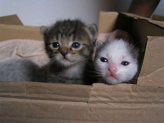 Two Newborn Kittens In A Box Kittentoob Newborn Kittens Kitten Care Animals