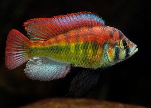 Haplochromis Red Back