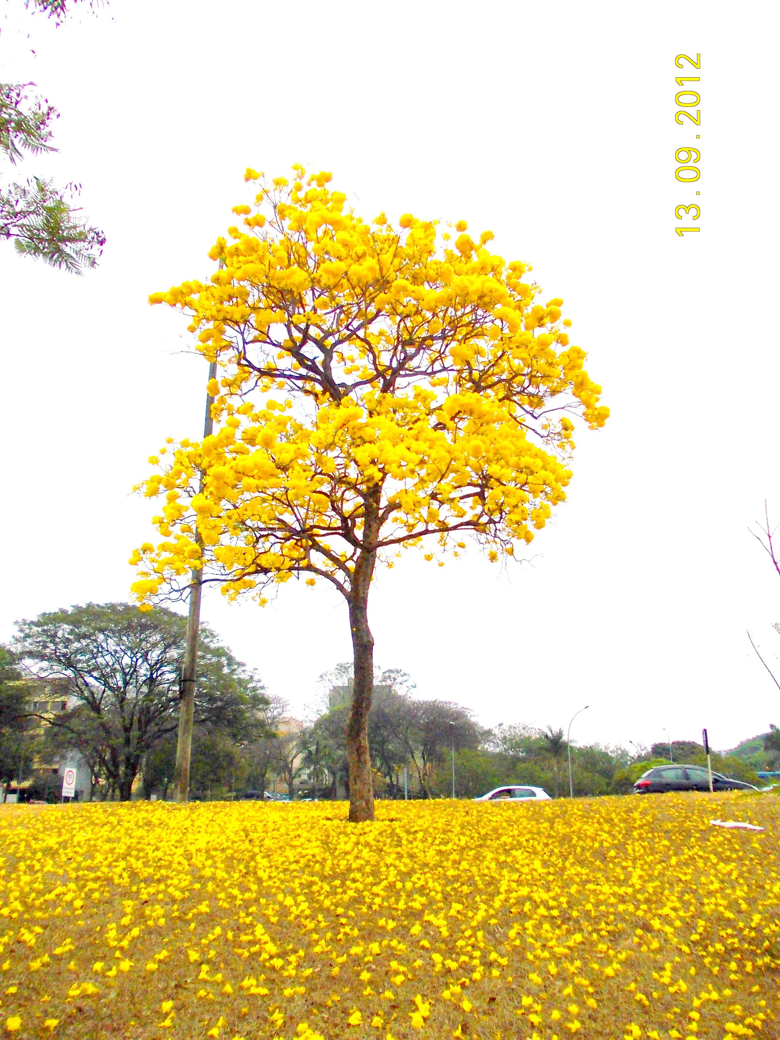 Ipe Amarelo A Cool Yellow Flowering Brazilian Tree Brasil