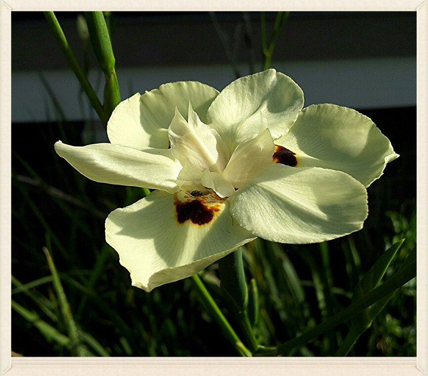 My African Iris, blooming non stop