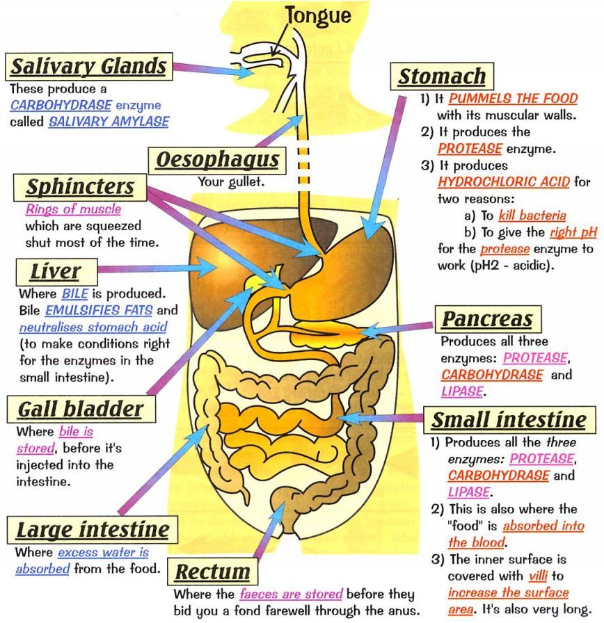 Human Digestive System Health Medicine And Anatomy Reference