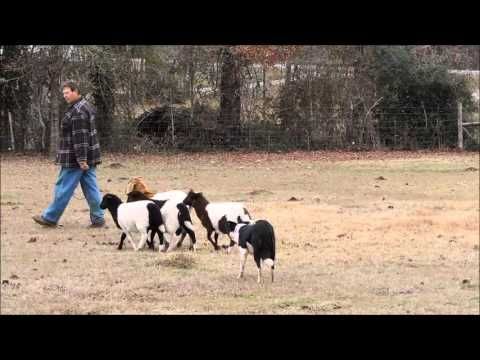 Adorable Border Collie Puppies For More Cute Puppies Check Out Our Youtube Channel Https Www Collie Puppies Border Collie Puppies Collie Puppies For Sale