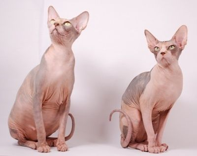 Sphynx Hairless Cats Submitted By Sara At Alien Encounter Cattery Sacramento California Hairless Cat Sphynx Cat Cat Breeds