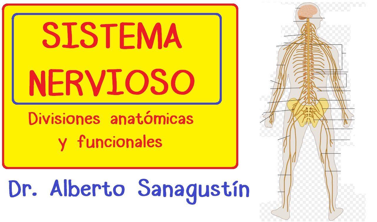 Sistema Nervioso explicado fácil - división anatómica y funcional ...