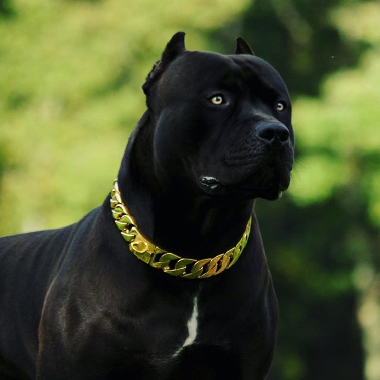 Xxldesignerpitbulls No Instagram Prague Looking Handsome In His New Gold Luxury Chain Collar Courtesy Of Atelier Top4dogs Dogs Corso Dog Pitbull Puppies