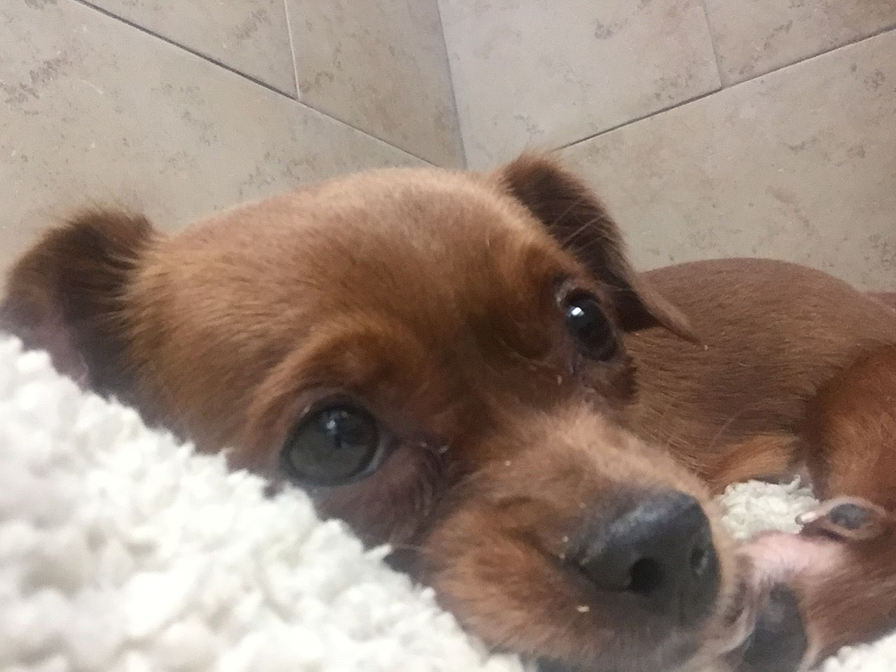 Chin Pin Dog For Adoption In Las Vegas Nv Adn 697287 On