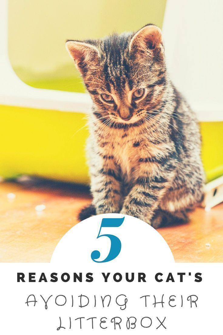 5 Reasons Your Cat S Avoiding Their Litterbox Cats And Meows Cat Training Litter Box Cats Cat Care