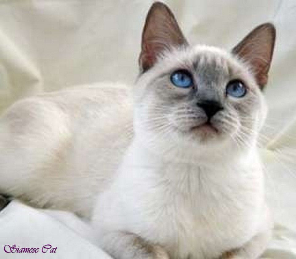 lilac point siamese cats flame point siamese cat siamese mix cats ...