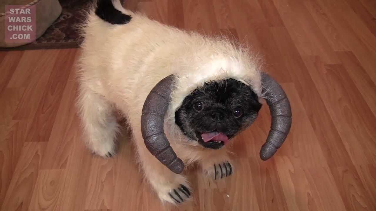 Can There Be Anything Cuter Than A Pug Wearing Wampa Costume Lol