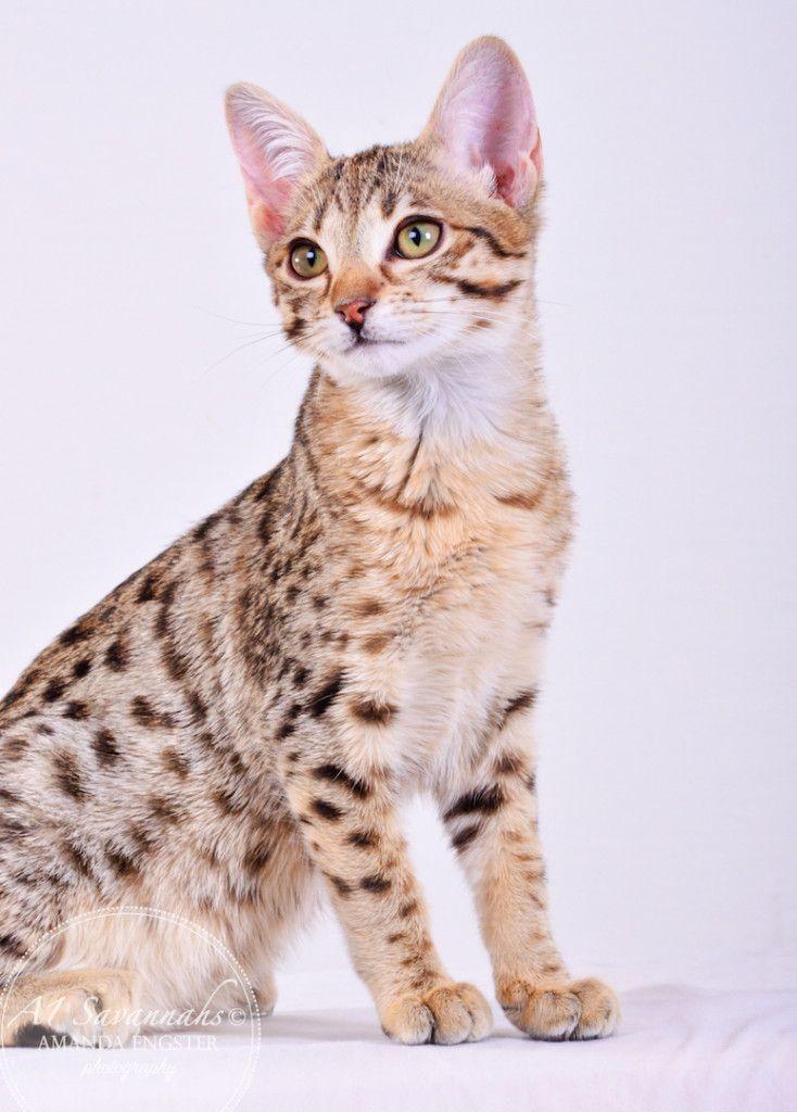 Cambree Sbt Savannah Kitten Savannah Kitten Cat Love Wild Cats