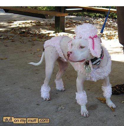 Poodle Pitbull Hahaha