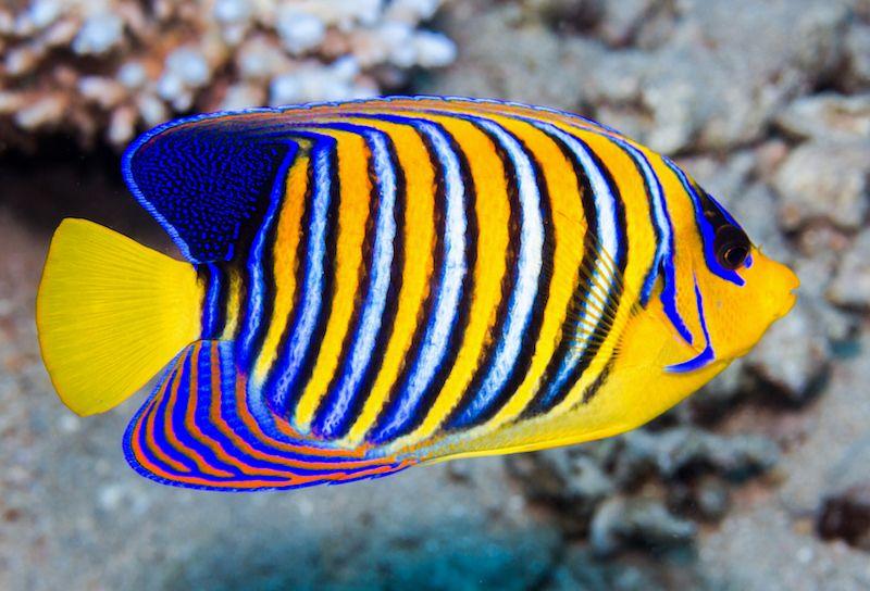 Pygoplites Diacanthus Flavescens Angel Fish Tropical Fish Beautiful Fish