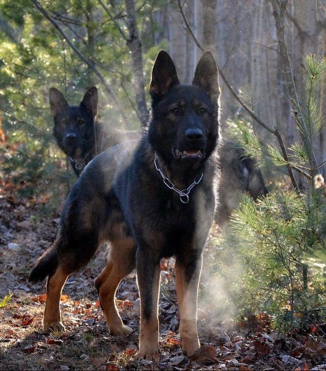 German Shepherd Vs African Wild Dog Who Would Win In A Fight