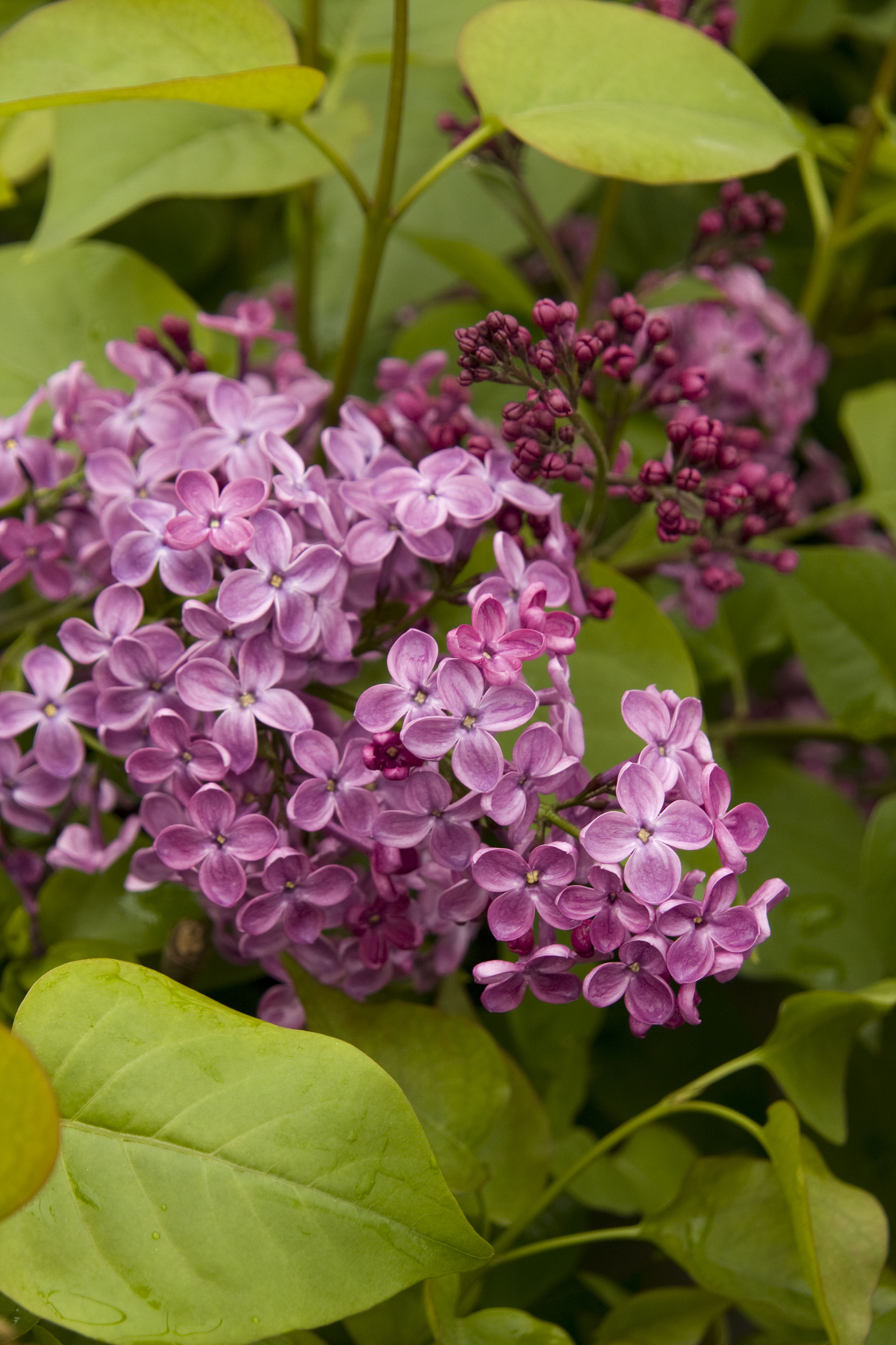 Pocahontas Canadian Lilac Extends The Lilac Season With This Extremely Hardy Early Blooming Variety Deep Maroon Purple Bud Flowering Shrubs Shrubs Lilac Tree