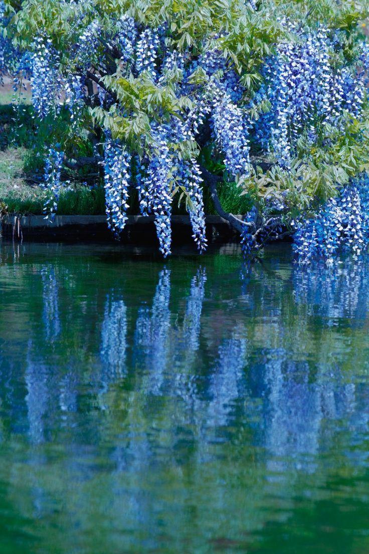 Most Beautiful Botanical Gardens In Japan Wisteria Plant Rare Flowers Botanical Gardens
