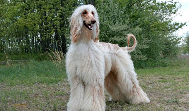 Image result for afghan hound pictures | afgha hound