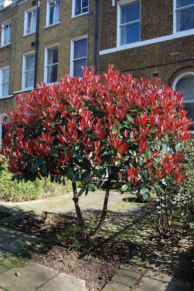 arbustes fleurs floraison estivale quelles esp ces choisir arbres nains feuilles rouges. Black Bedroom Furniture Sets. Home Design Ideas